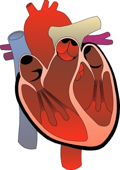 Heart Medical Diagram clip art Free vector in Open office drawing.