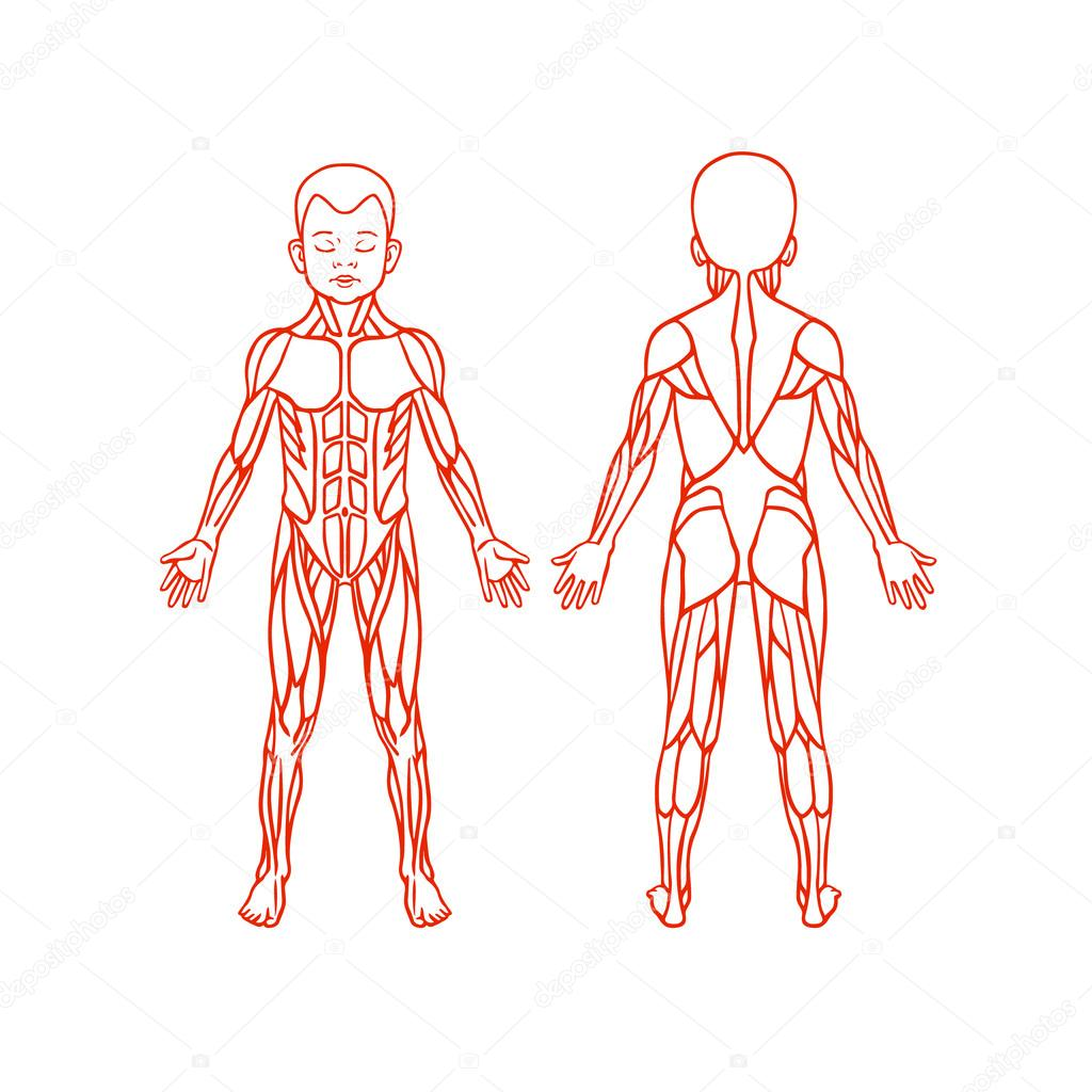 Clipart: muscle system.