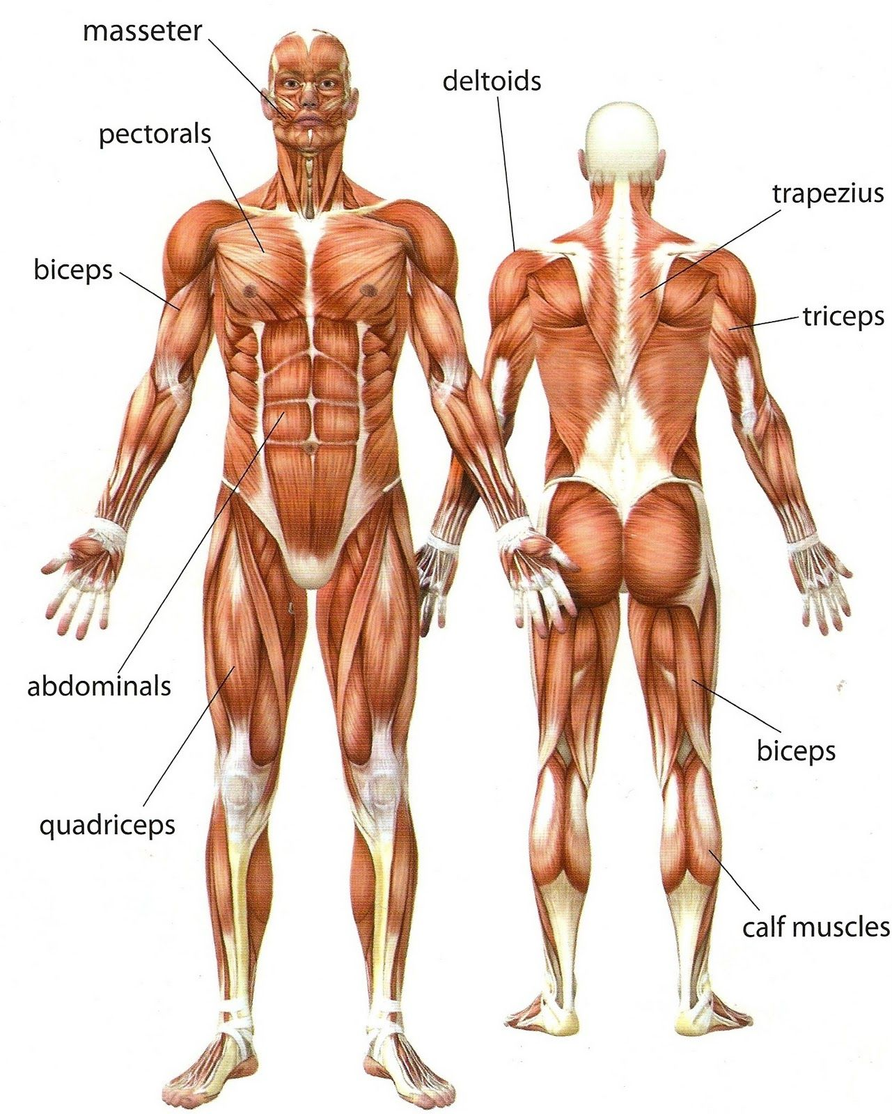 A Diagram Of The Muscular System . A Diagram Of The Muscular System.