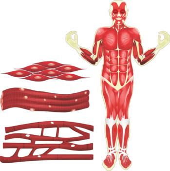 The Muscular System Clip Art.