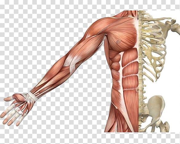 Skeletal muscle Muscular system Human skeleton Human body, Skeleton.