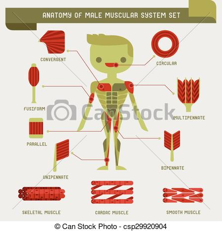 Anatomy of male muscular system.