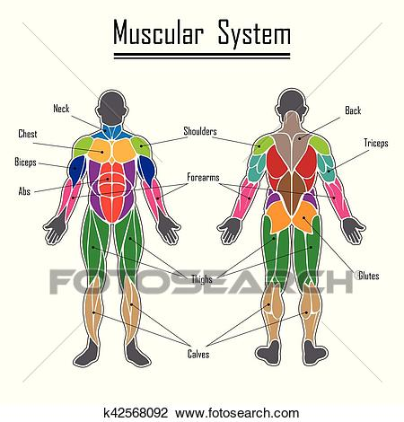Human muscular system Clipart.