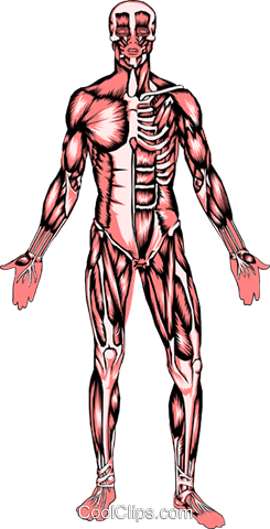 Muscle system Royalty Free Vector Clip Art illustration.
