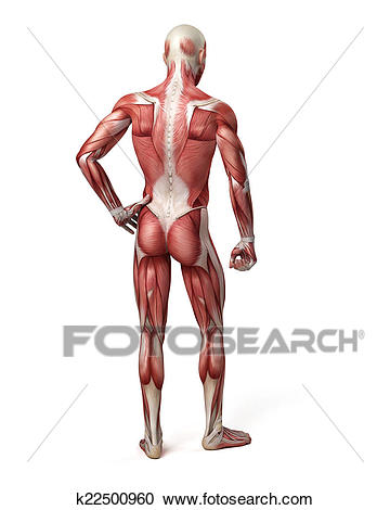 the male muscular system Clipart.