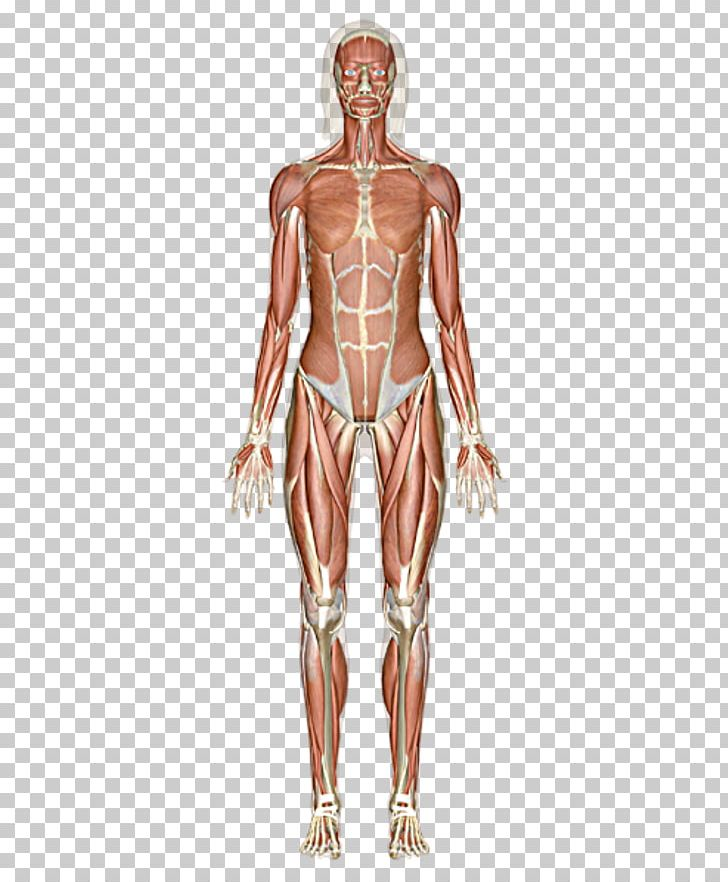 The Muscular System Skeletal Muscle Human Body PNG, Clipart, Abdomen.