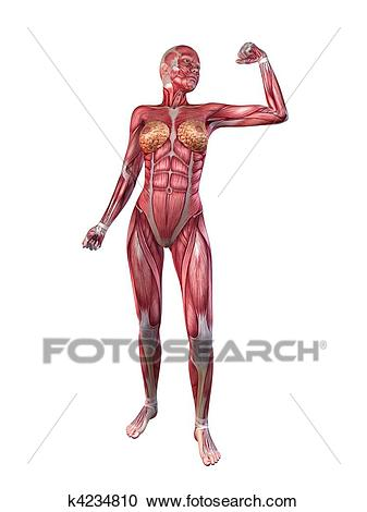 Female muscular system Clipart.