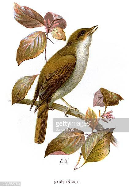 59 Nightingale Bird Stock Illustrations, Clip art, Cartoons & Icons.