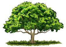 Oak Tree Stock Illustrations.