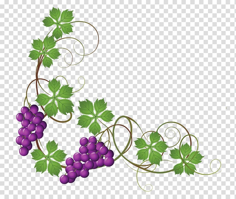 Maroon grape illustration, Common Grape Vine Wine , grapes.