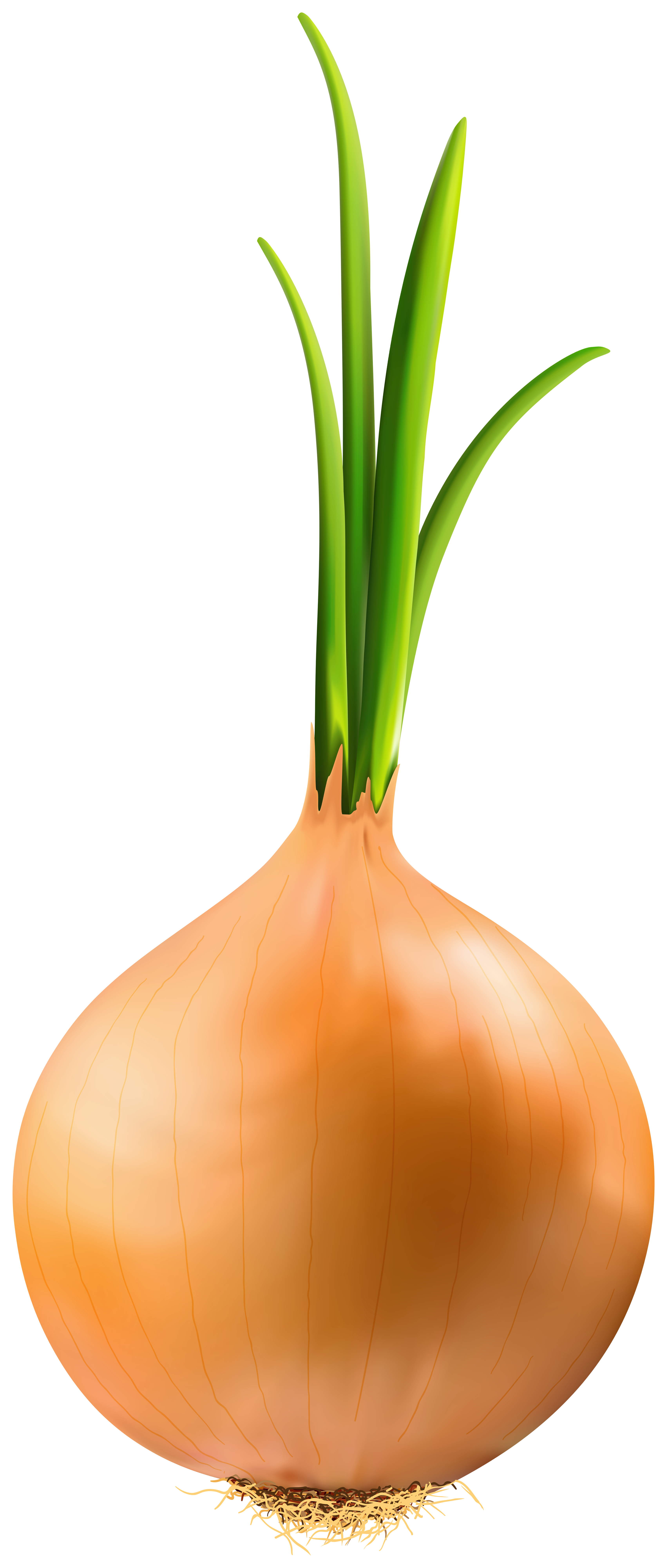 Onion PNG Clipart Image.