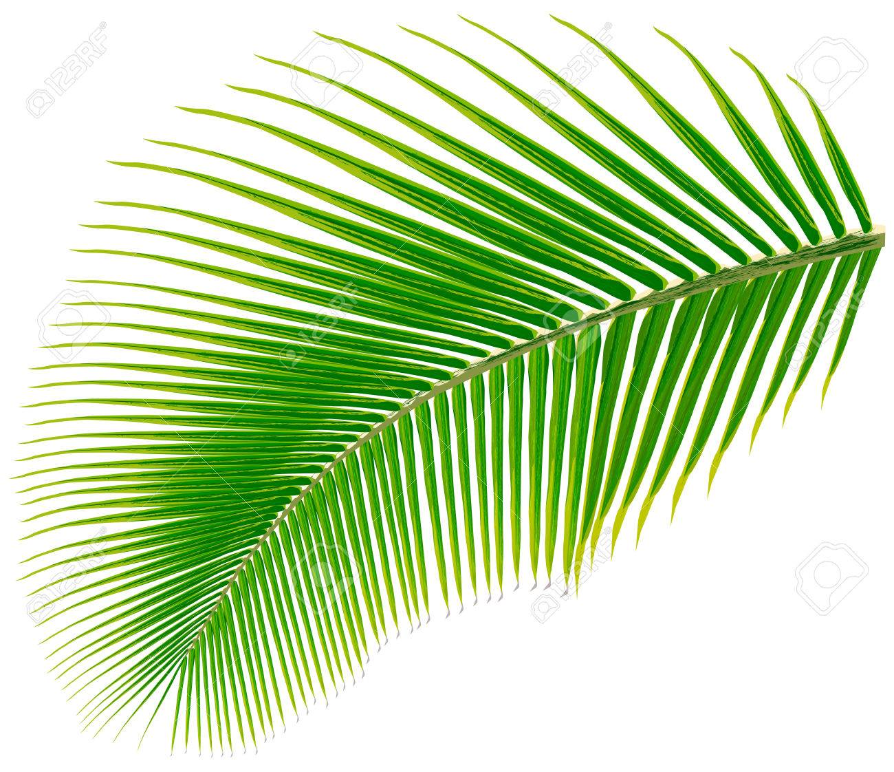 Palm tree leaf, vector illustration, isolated on white » Clipart Station.