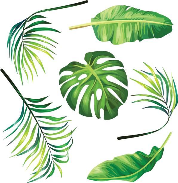 Best Palm Leaf Illustrations, Royalty.