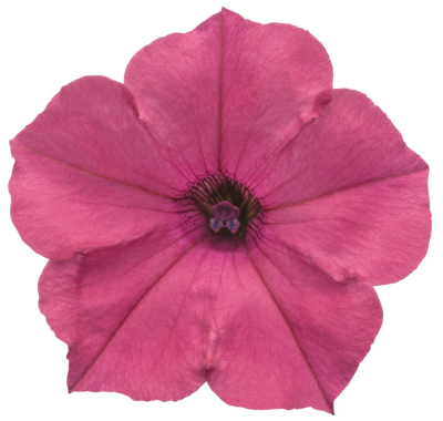 Download Free png Petunia PNG Clipart.