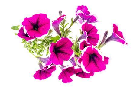 1,129 Petunia Stock Vector Illustration And Royalty Free Petunia Clipart.