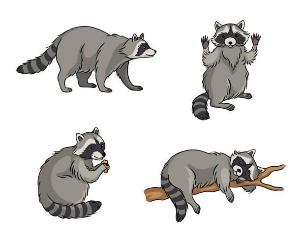 Best Raccoon Illustrations, Royalty.