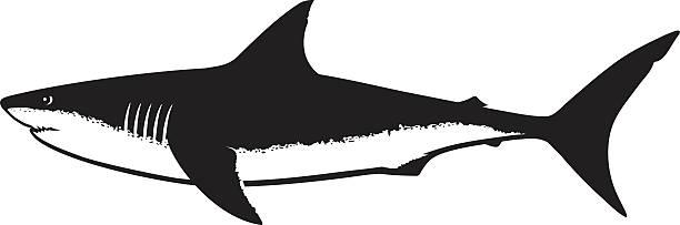 Best Great White Shark Illustrations, Royalty.