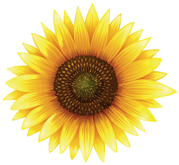 Best Sunflower Illustrations, Royalty.