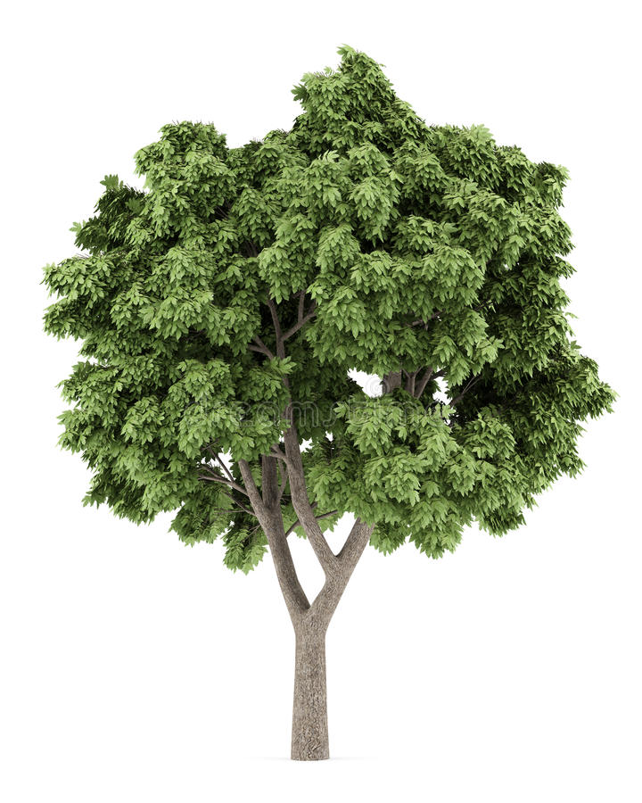 Sycamore Tree Stock Illustrations.