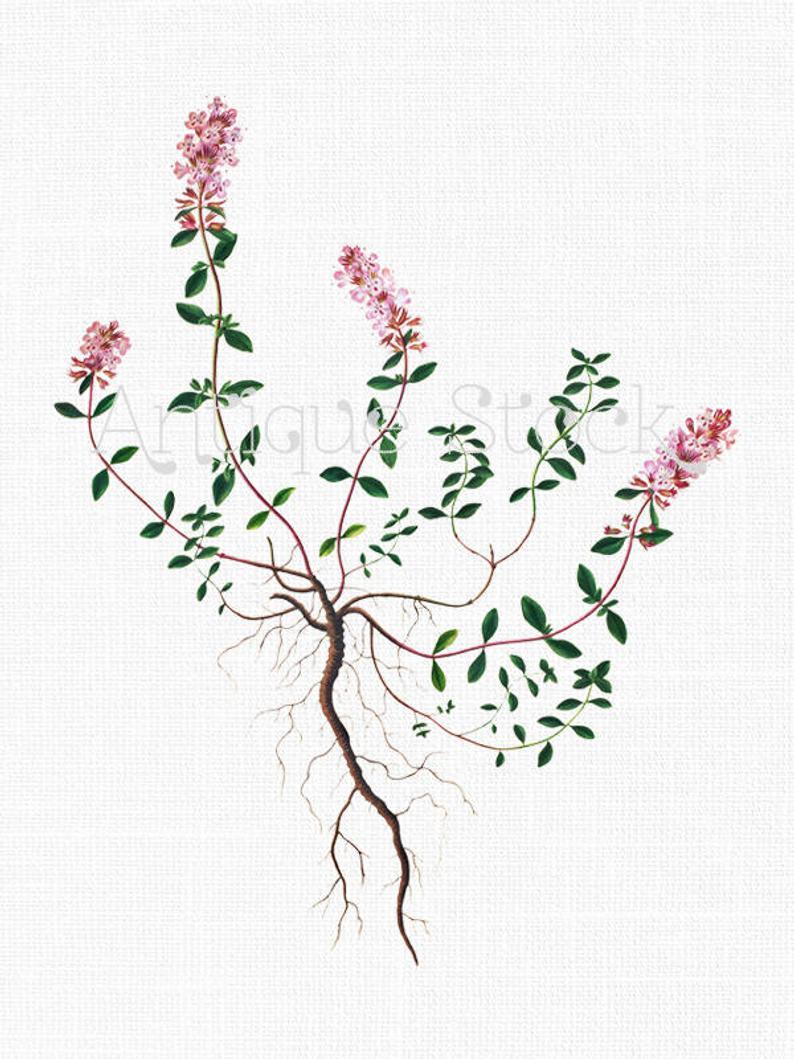 Vintage Clip Art 'Thyme' Botanical Instant Download Art for Scrapbook,  Graphic Design, Wall Art, Collages, Paper Crafts, Card Making.