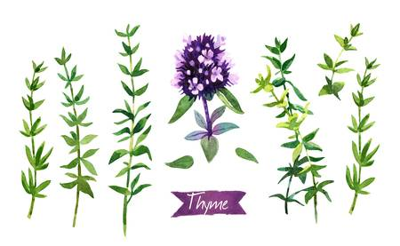 2,717 Thyme Stock Illustrations, Cliparts And Royalty Free Thyme Vectors.