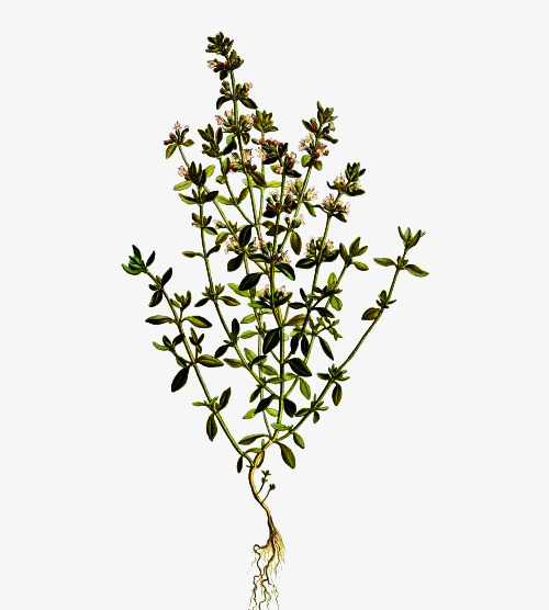 Thyme Flowers Picture Material, Thyme, Flowers, Plant PNG.