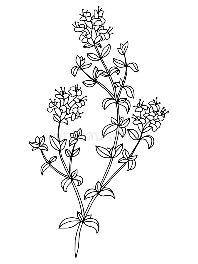 Art Thyme Stock Illustrations.