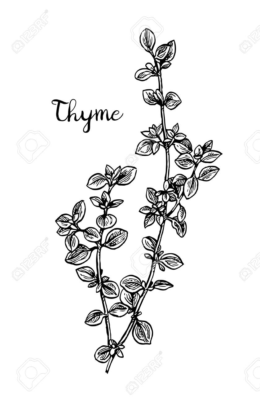 Thyme ink sketch..