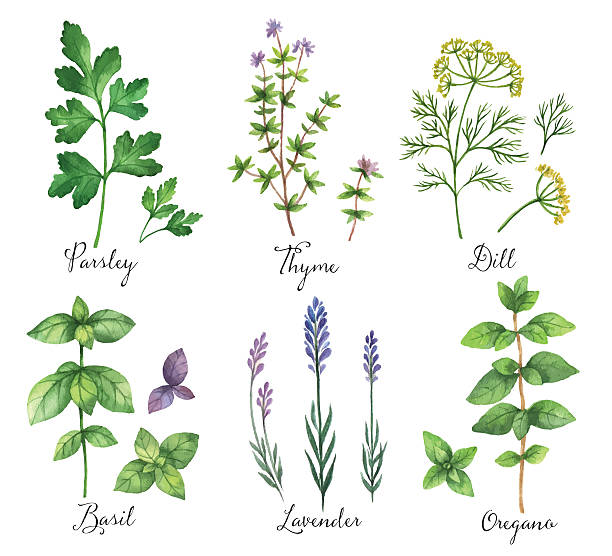Best Thyme Illustrations, Royalty.