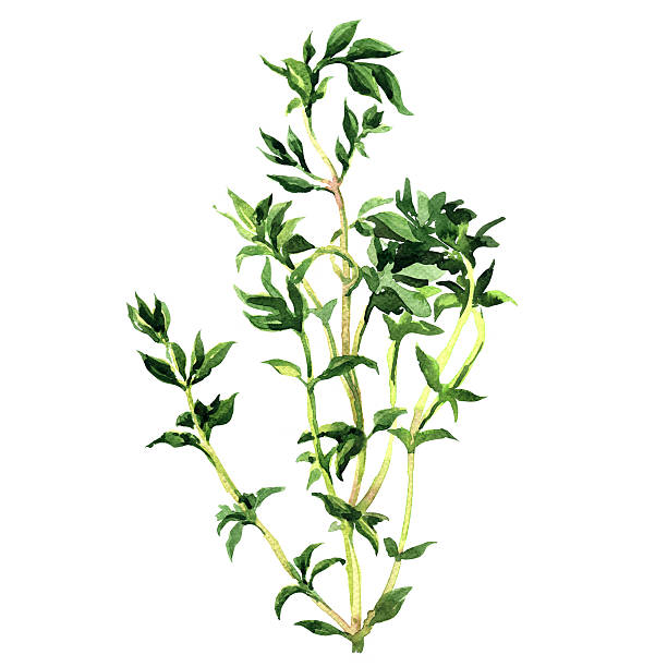 Fresh thyme, watercolor painting on white background » Clipart Station.