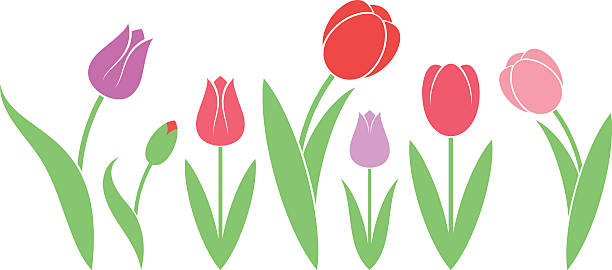 Best Tulip Illustrations, Royalty.