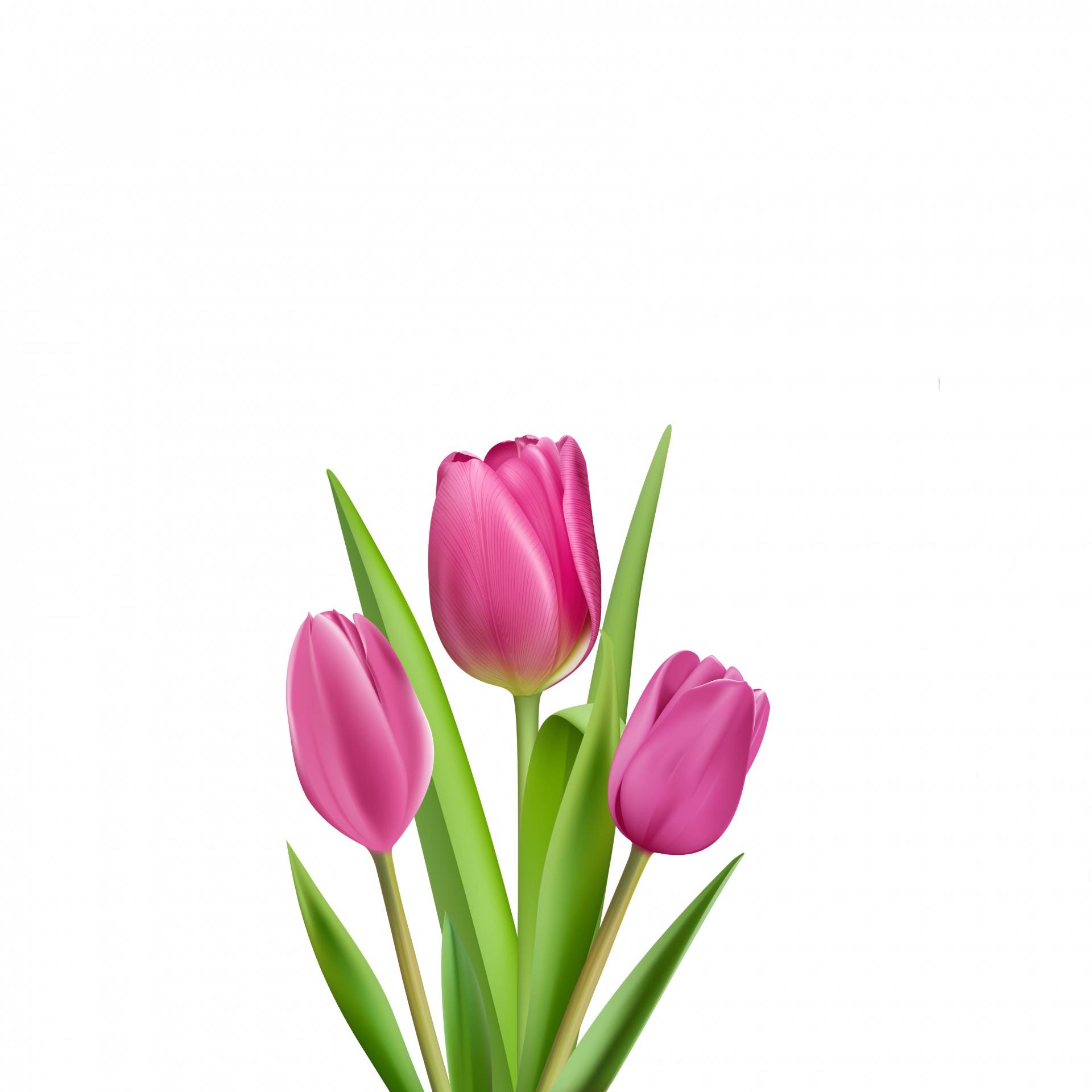 Tulips,tulip,illustration,clipart,pink.