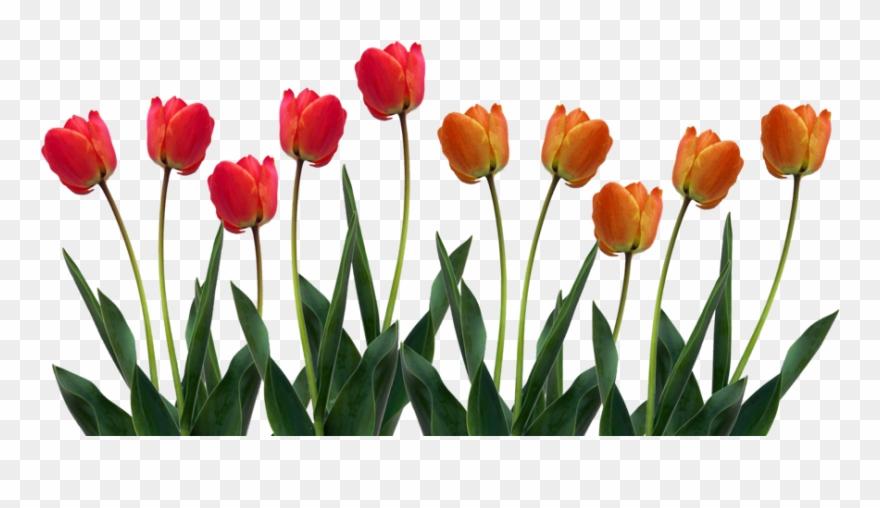 Clip Art Images Of Tulip Clipart.