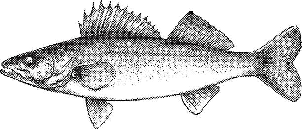 Best Walleye Illustrations, Royalty.