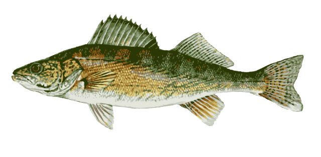 Great Clip Art of Freshwater Fish: Walleye.