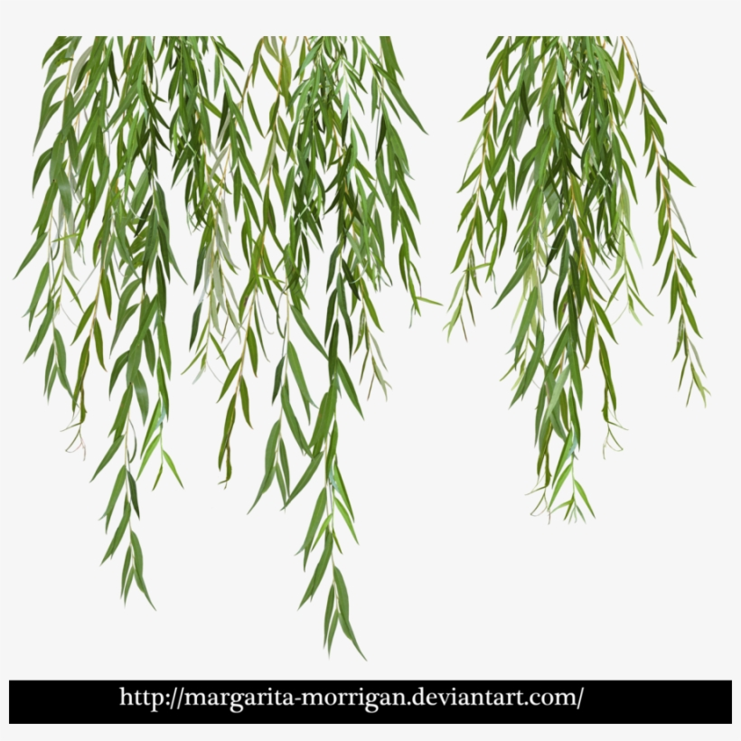 Download Willow Tree Branch Png Clipart Weeping Willow.