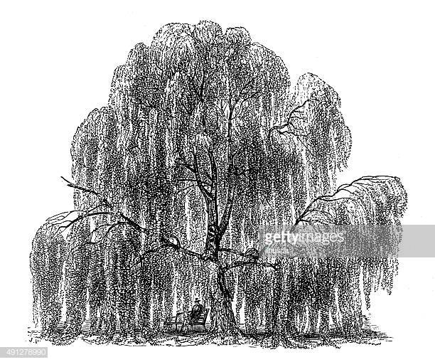 25 Weeping Willow Stock Illustrations, Clip art, Cartoons & Icons.