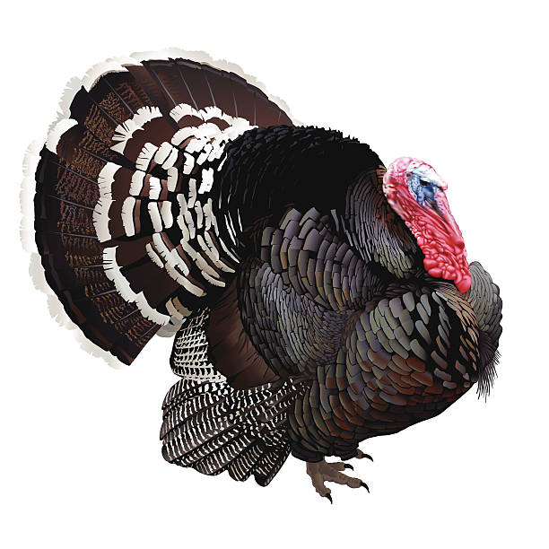 Wild turkey clipart 1 » Clipart Station.