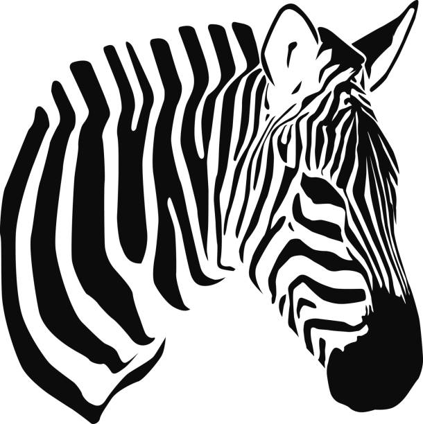 Best Zebra Illustrations, Royalty.