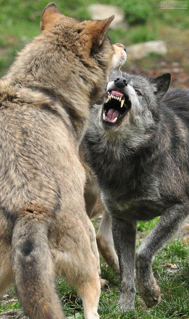 17 Best ideas about Wolves Fighting on Pinterest.