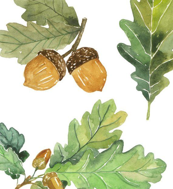 Oak leaves and acorns watercolor clip art, Printable foliage.