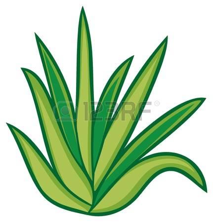1,349 Aloe Vera Stock Vector Illustration And Royalty Free Aloe.