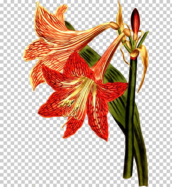 Botany Amaryllis Flower Botanical illustration Engraving.