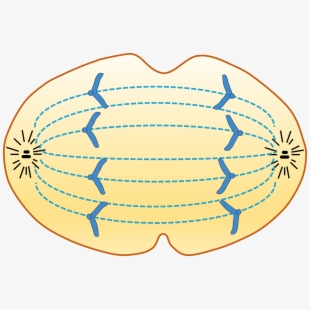 It\'s Anaphase.