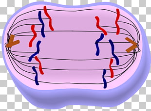 Mitosis Anaphase Cytokinesis Metaphase Interphase, stage PNG.