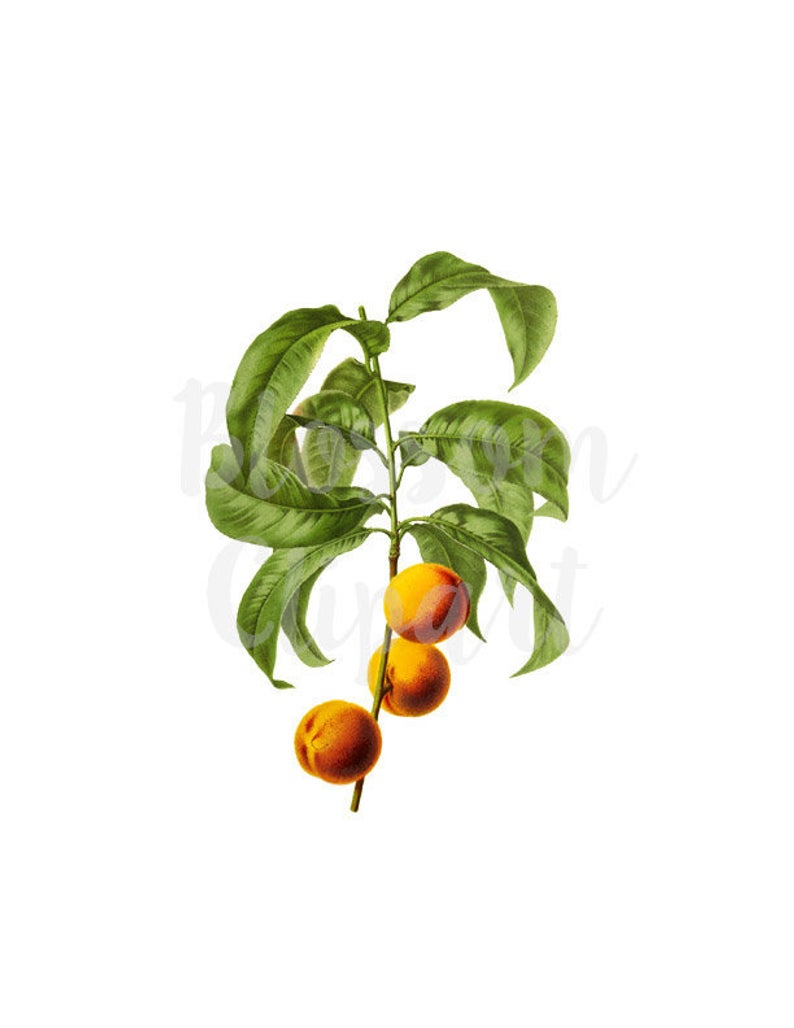 Clipart Apricot, Vintage Graphic Clip Art Botanical Illustration for  Collage, Scrapbooking Digital Download PNG Illustration.
