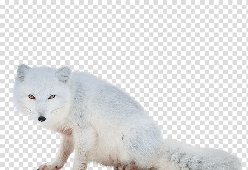 White wolf , Arctic fox transparent background PNG clipart.