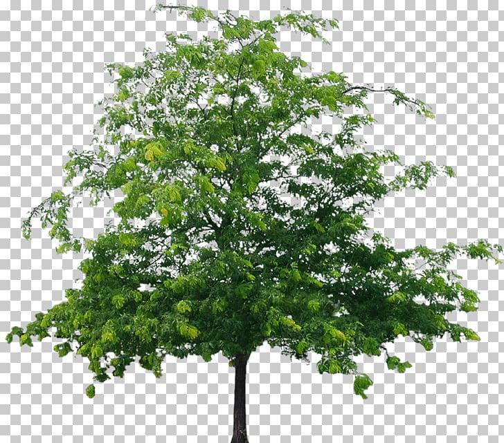 Tree European aspen, Tree File PNG clipart.