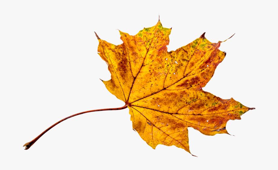 Autumn, Leaves, Leaf, Png, Transparent, Fall Color.