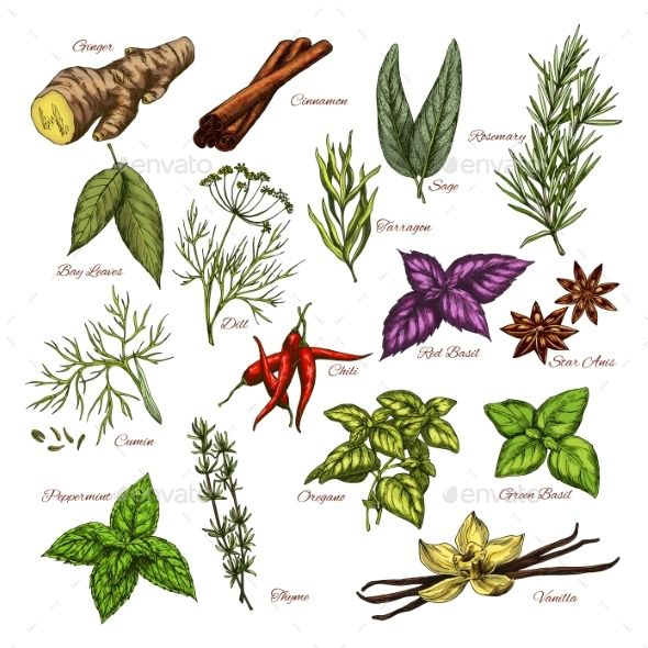 Vector Spices and Herbs Sketch Icons of Seasonings #Herbs.